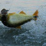 Pescador é condenado por captura ilegal de peixe em extinção