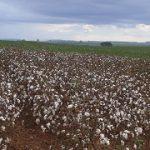Tribunal mantém multa a produtor rural que cultivou algodão transgênico sem autorização