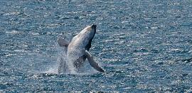 baleia jubarte 270